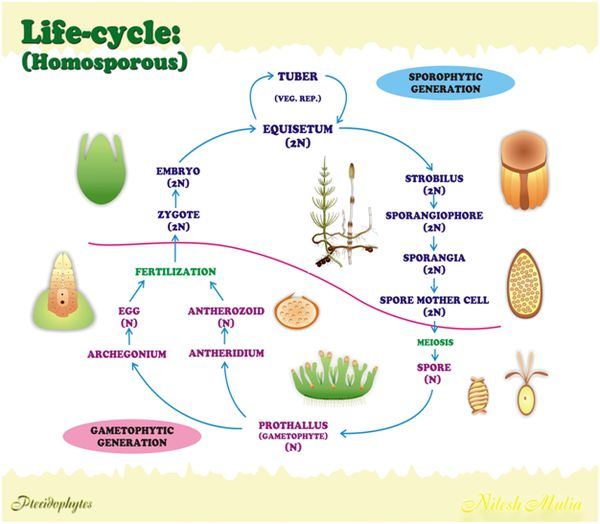 Life_cycle on Plant Life Cycle Sporophyte