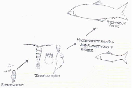 aquatic food chain examples